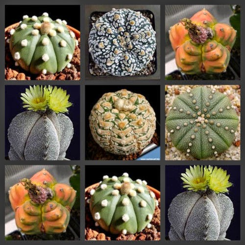 Astrophytum Cactus Seeds Variety lot Mix~flower cactus mix