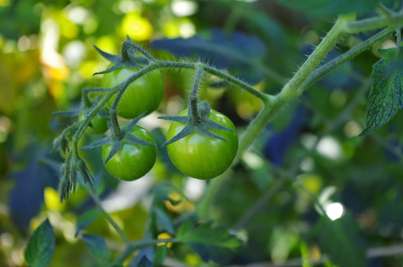 mr greens welt mein jahr der tomate. Black Bedroom Furniture Sets. Home Design Ideas