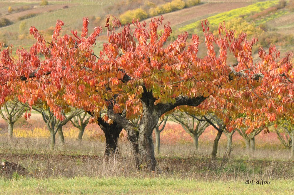 L'ARBRE ROUGE FAçON PHOTO, КРАСНОЕ ДЕРЕВО, THE RED TREE AS A PHOTO