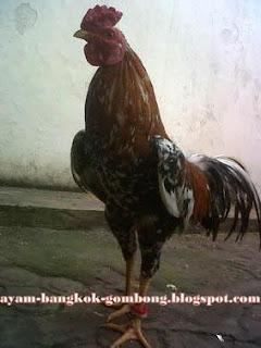 Yang Harus Diperhatikan Sebagai Ayam Petarung