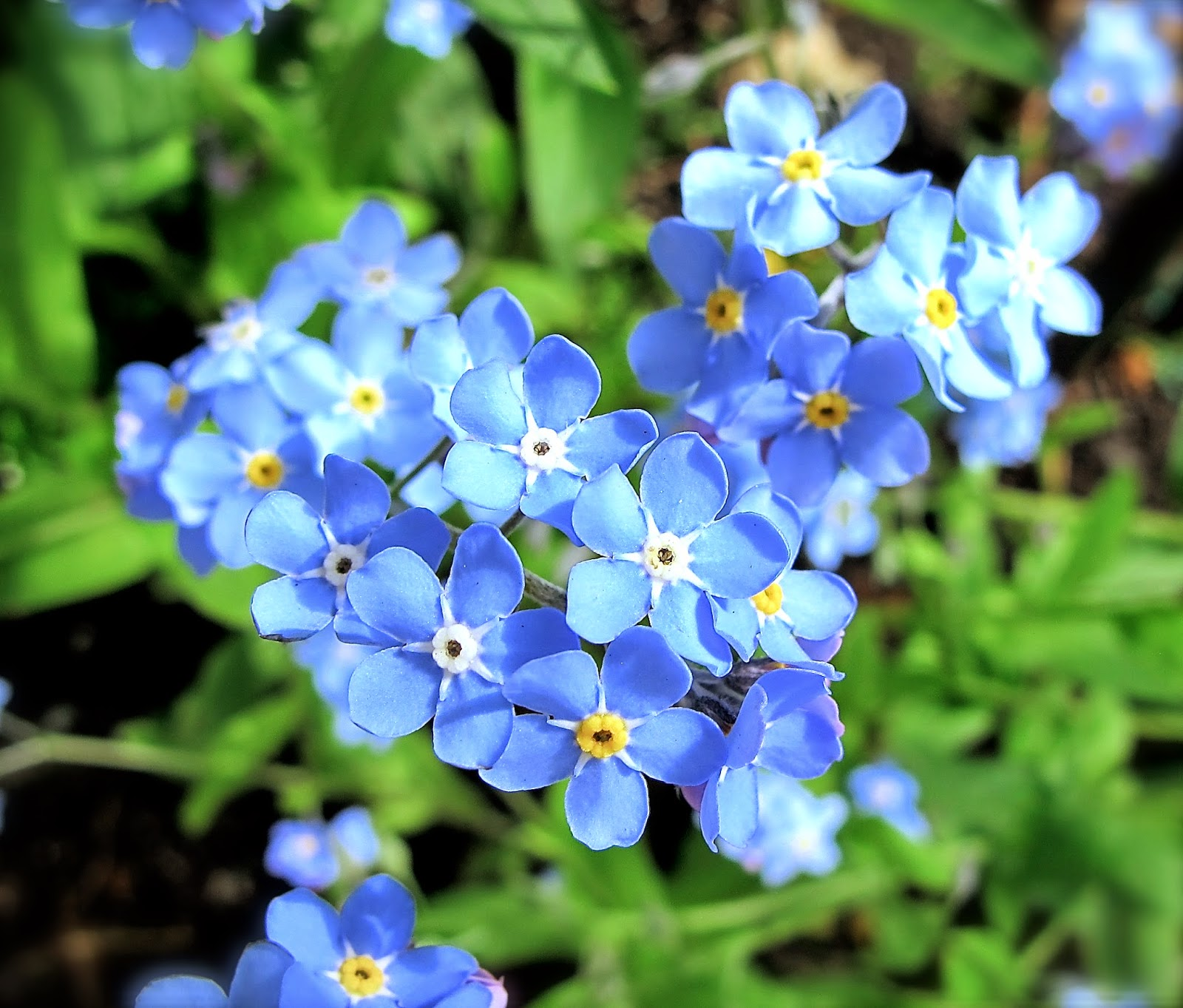 forget me knot flowers