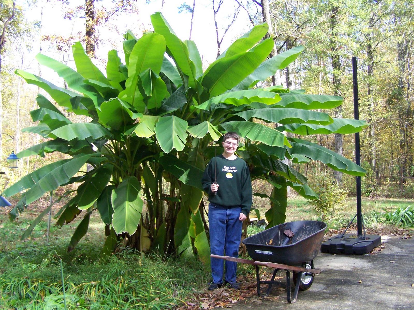 Experimental garden demise of the banana tree forest - Like that garten ...