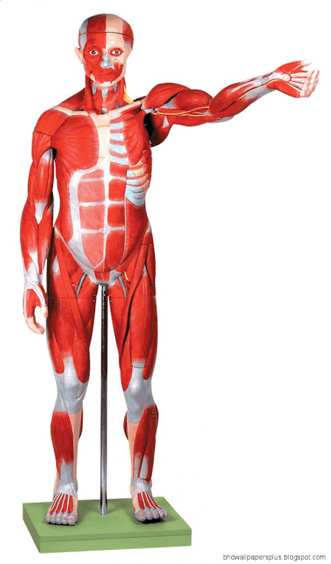 Human Anatomy ModelChina Medical modelsBiological modelMedical