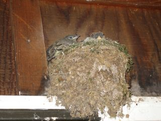 photo of kingbird fledglings over front door