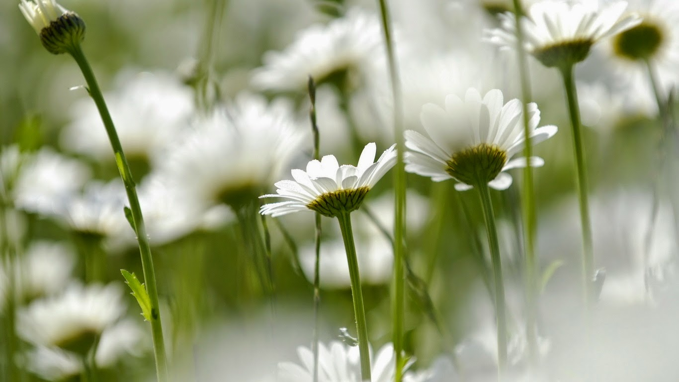 Love Images, White Flowers part 6