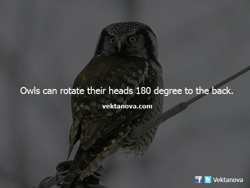 Owls Can Rotate Their Heads 180 Degree to the Back