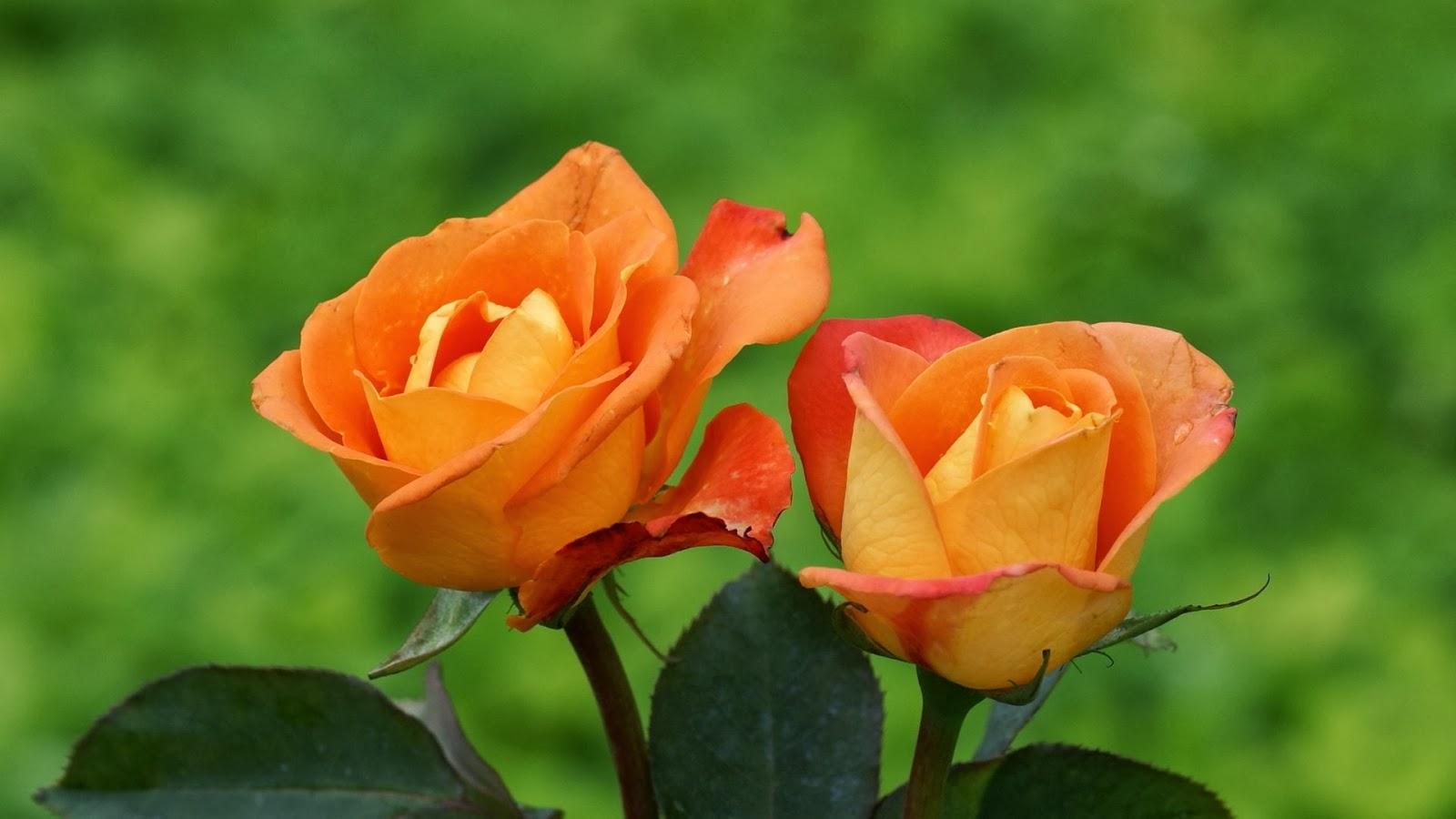 Orange Rose Flowers Wallpapers Beautiful Flowers Wallpapers