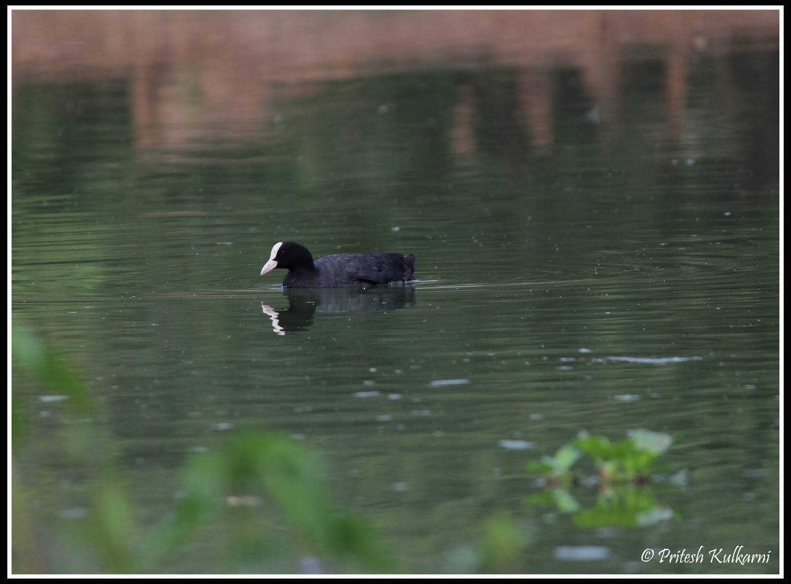 Common coot