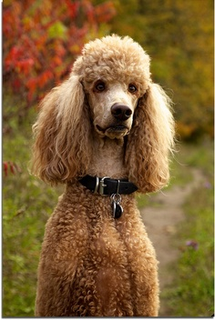 What is the lifespan of a poodle
