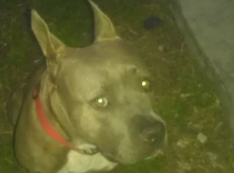 Miami FL: NEEDS RESCUE. Sweet Pit Left Behind Inside Foreclosed Home