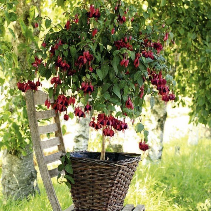 how to grow fuchsias the garden of eaden