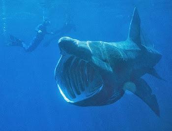 Büyük camgöz balina köpek balığı