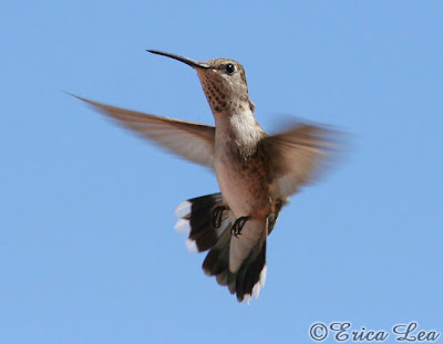 female Black-chinned Hummingbird picture