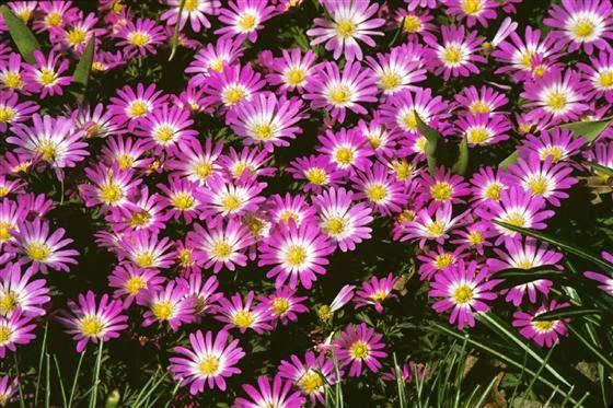 Arte y jardiner a plantas bulbosas para jardines de rocalla for Plantas perennes exterior