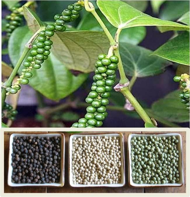 tanaman lada hitam related keywords tanaman lada hitam