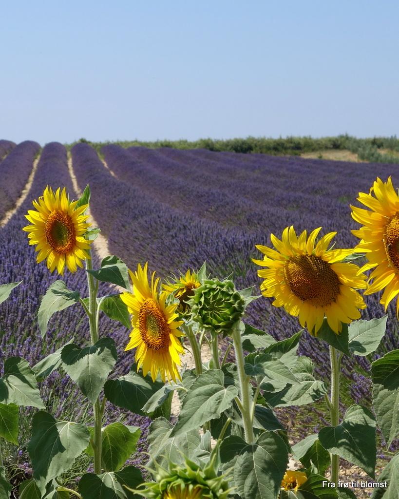 Lavendelmarker i Provence
