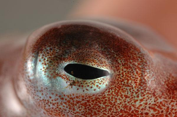 Octopus Eye Vs Human Eye Octopus Eye Vs Human Eye
