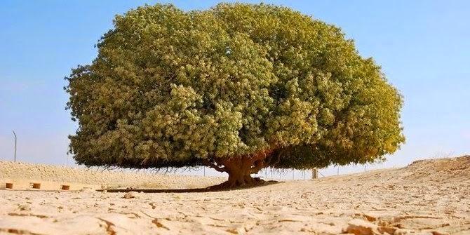 Gurun Yordania - Pohon Sahabi