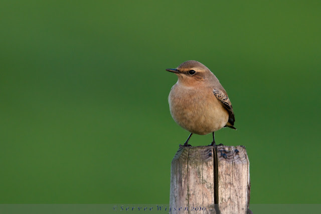Tapuit - Northern Wheatear - Oenanthe oenanthe