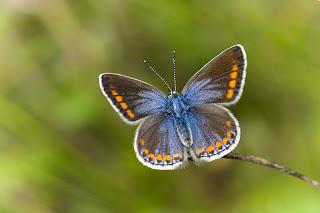 Para ampliar Polyommatus thersites hacer clic