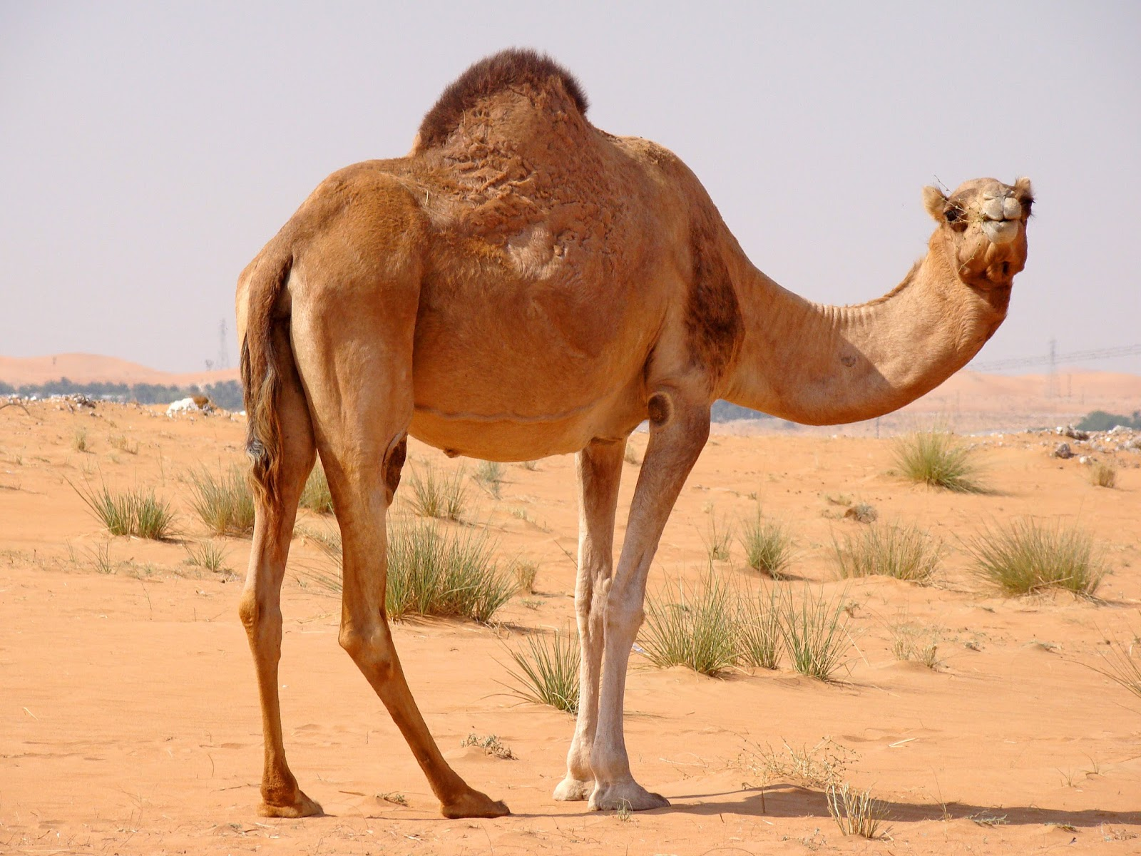 For evolution to be true and a camel to evolve all the special adaptations that it has for the desert, it would need to be living in the desert most of the ...