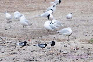 Fumarel aliblanco (Chlidonias leucoptera - White-winged Tern)