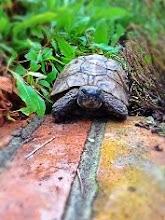 Fred - a Hermann tortoise