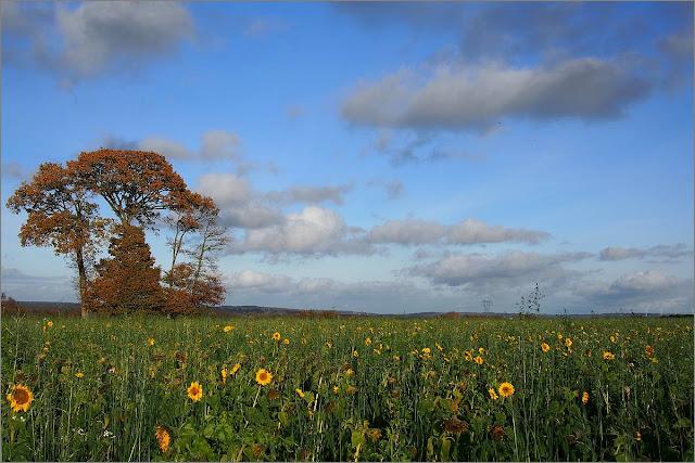 champ de tournesols en décembre, près de guipry 35