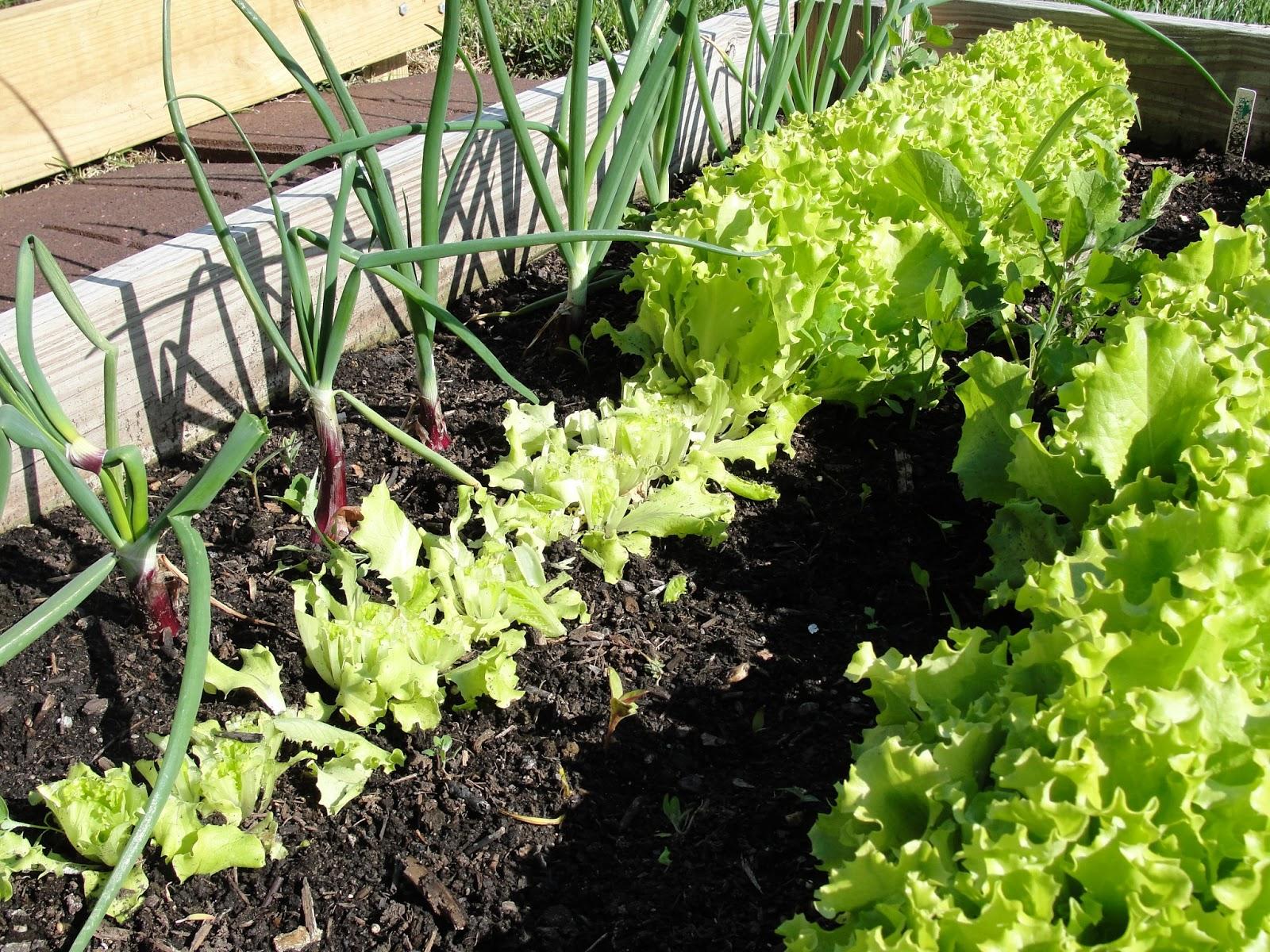 Lessons From The Garden Lettuce Time Harvesting Loose Leaf Lettuce