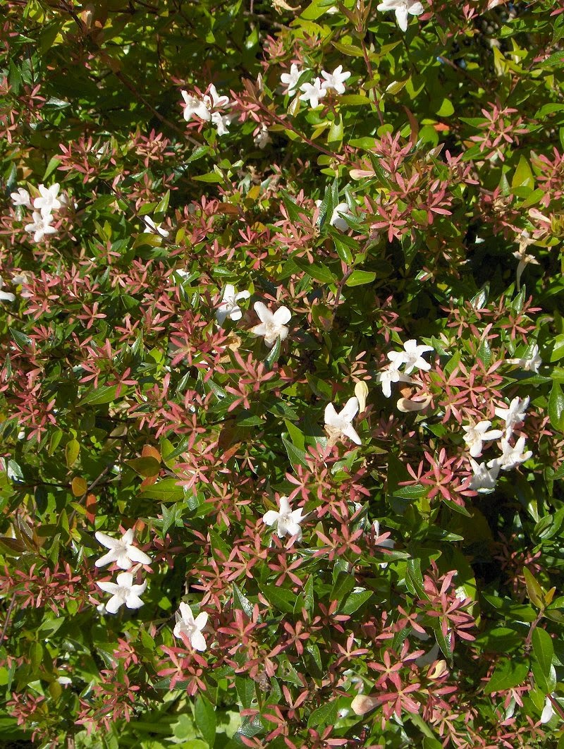 Abelia Flower Flower Coloring Page