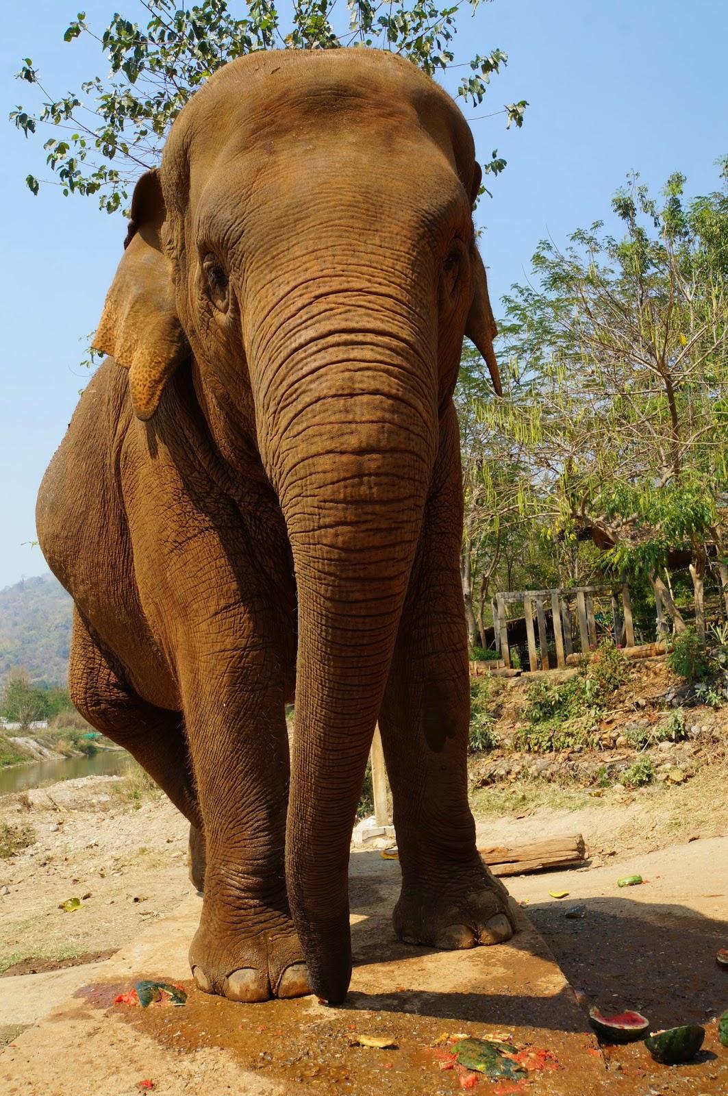 Elephant Eating a Stick Elephants Eat Pretty Much
