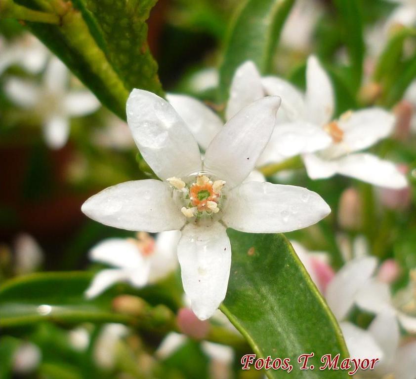 CINAMOMO: Melia azederach | Plants rioMoros