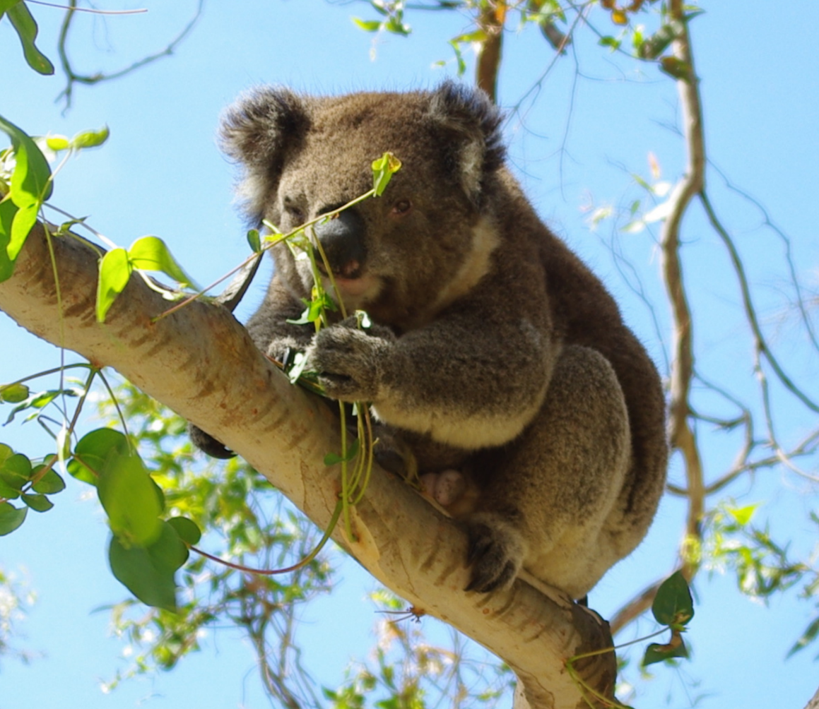 travel wildlife encountered on tours a baby koala is known as a joey and when small is not so cute being hairless blind and earless when it is born it crawls into a pouch on its mother s