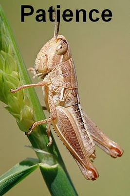 300px-Young_grasshopper_on_grass_stalk03.jpg