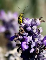cucumber beetle, a dahlia pest