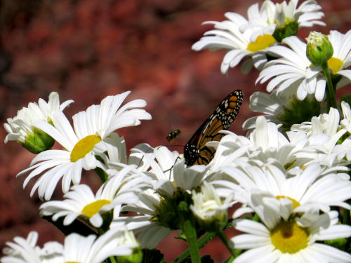 Monarch on Shasta daisies