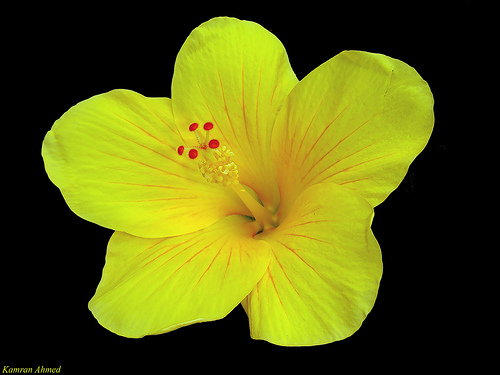 Hibiscus Flowers Pictures: Yellow Hibiscus Flower # 3