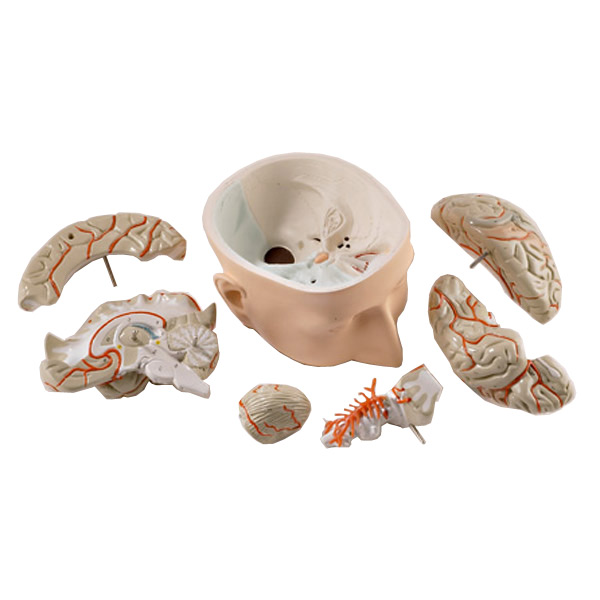 Anatomical Brain Model3