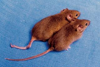 La epigenética y el resurgir del lamarckismo Cloned_mice_with_different_DNA_methylation