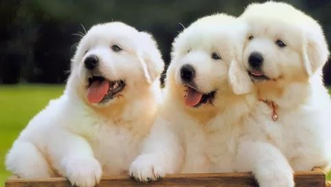 Resultado de imagen para Great Pyrenees dog, funny