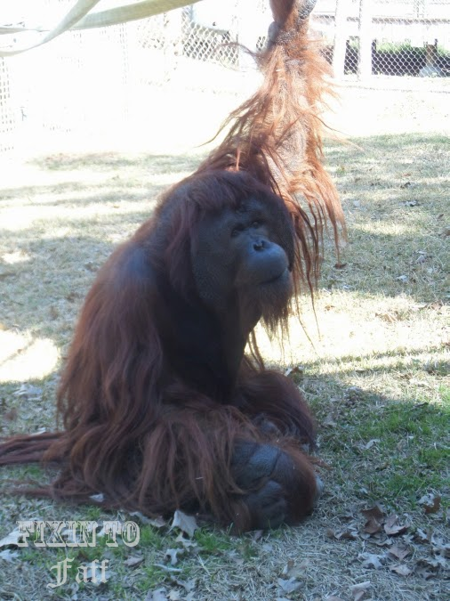Cameron Park Zoo Orangutan