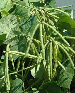 Budidaya Tanaman Kacang Hijau