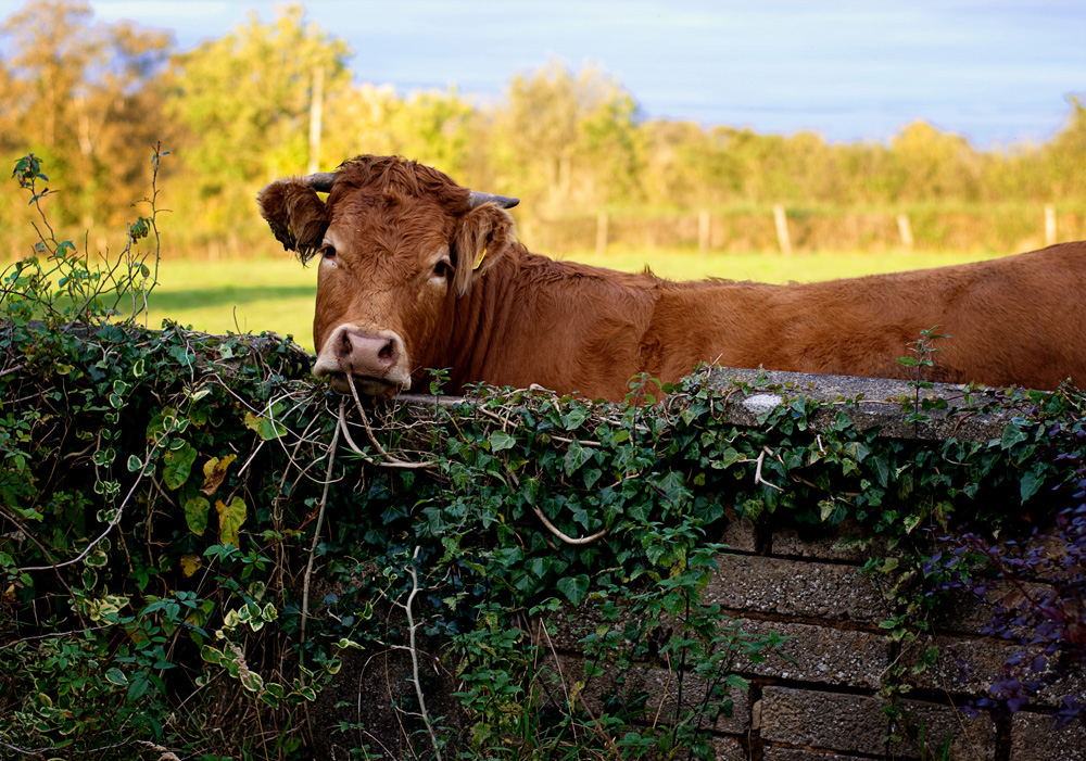 cow looking over the garden wall