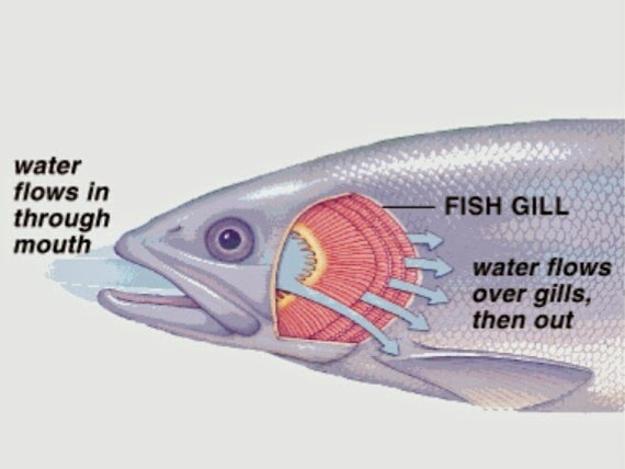 Dipnoi: Distribution, Morphology and Affinities | Bony Fishes