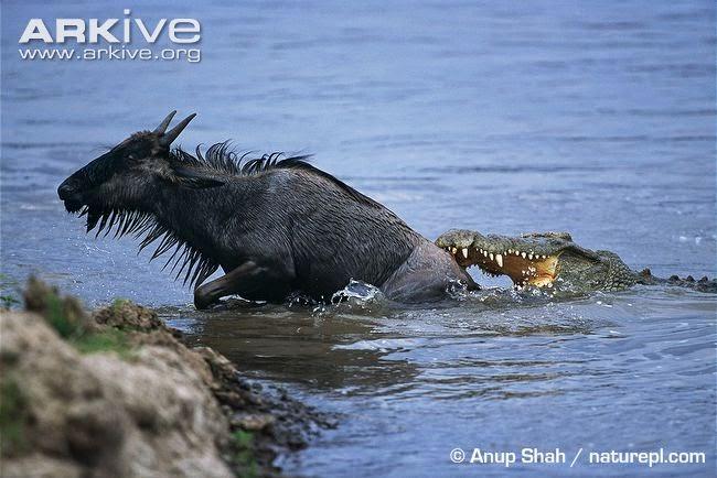 interactions between african wildlife nile crocodile