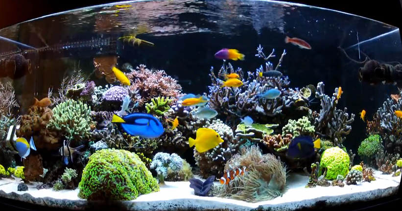 Aquarius how to add new fish to your saltwater aquarium for Beginner freshwater fish