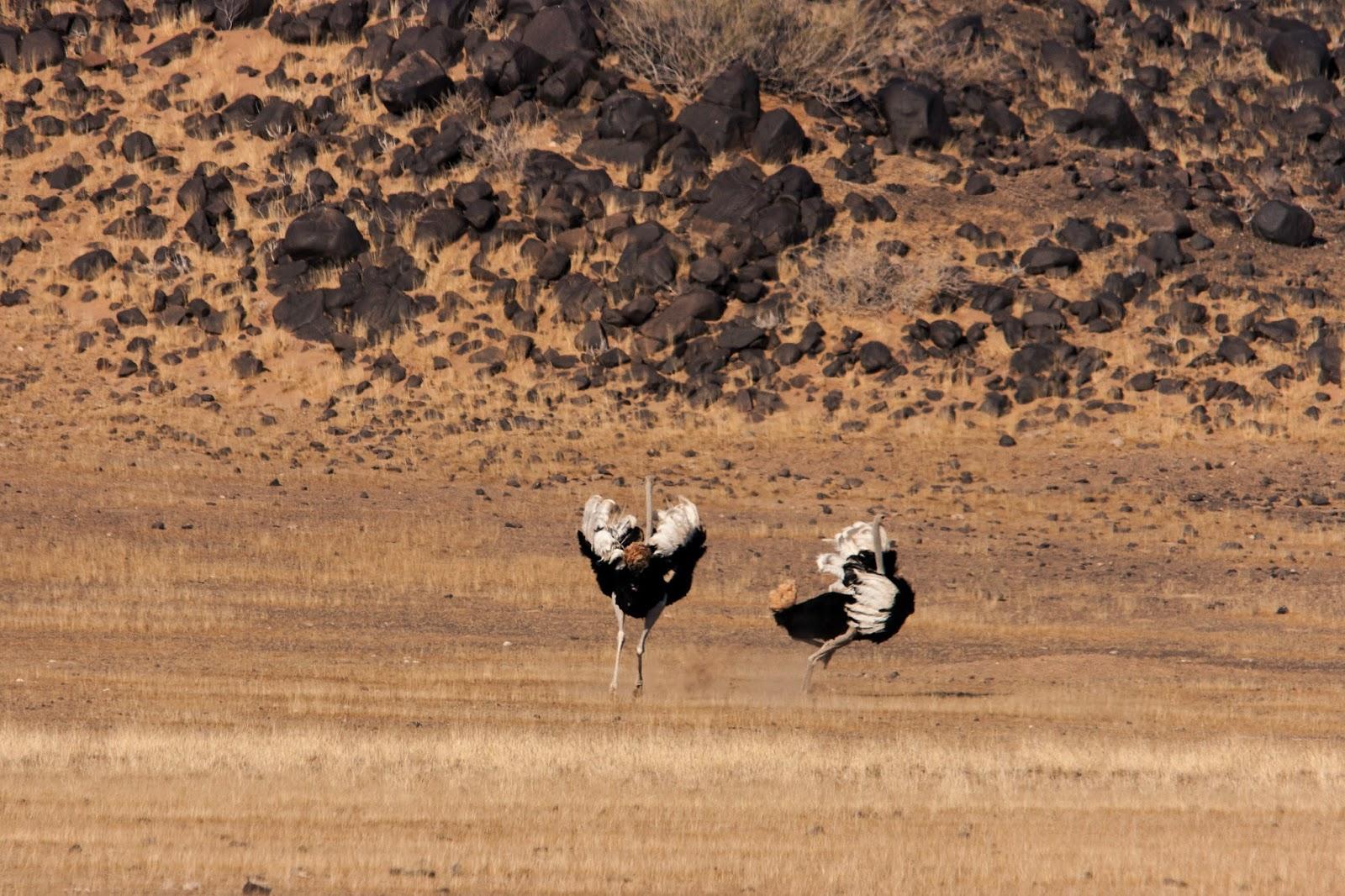 ostriches namibia damaraland safari