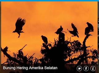 inovLy media : Burung hering Amerika Selatan