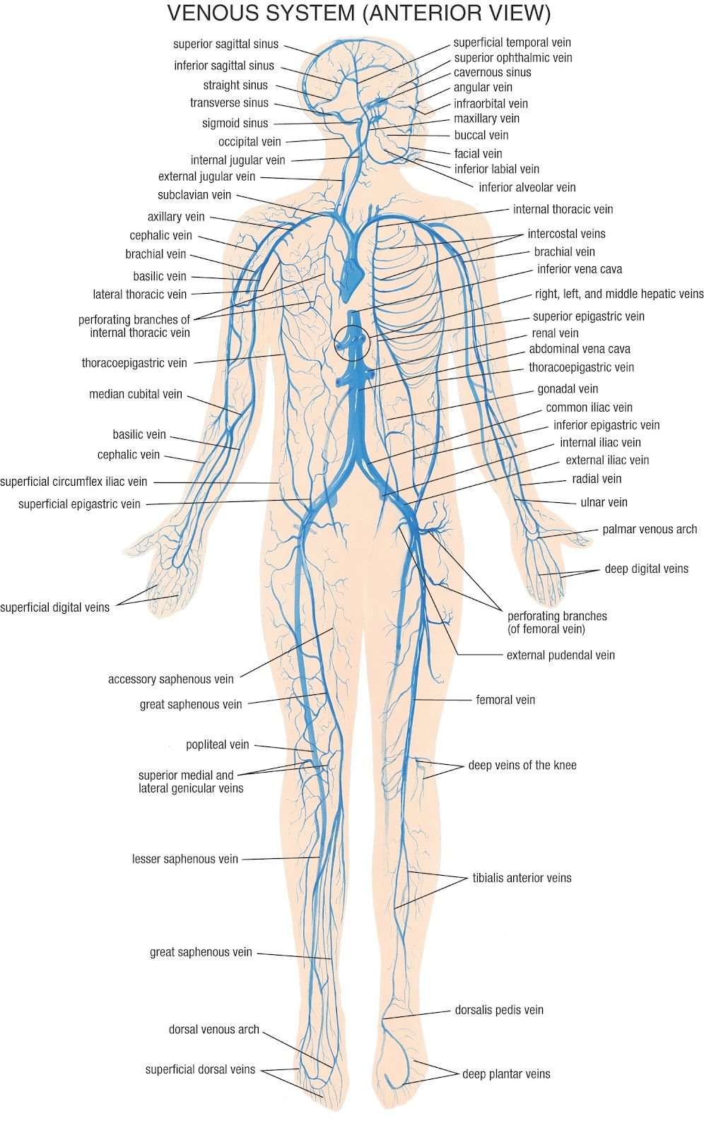 Biology 156 April 2012 Where Can I Find A Diagram Of White Blood Cell Tutorvista Answers Veins Also Serve As Volume Reservoir Containing Almost Two Thirds The Bodys So That If Body Becomes Dehydrated Heart Will Still