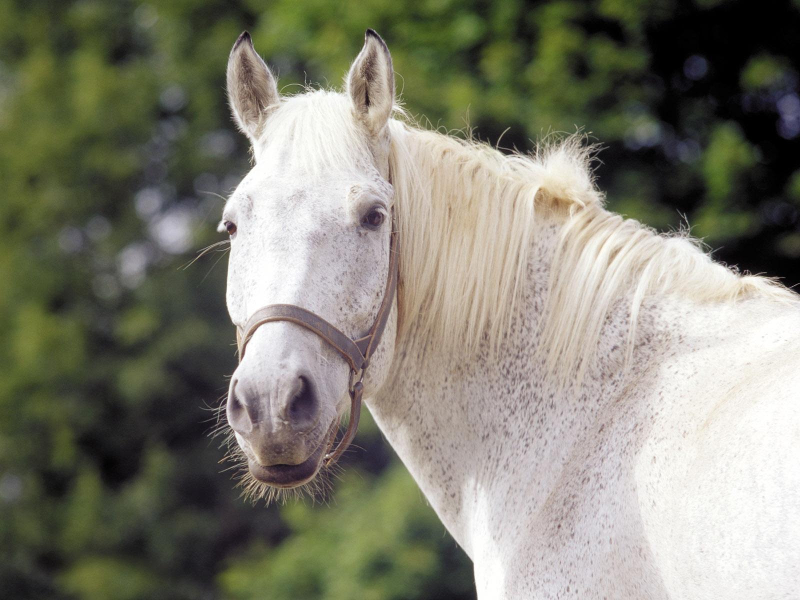 12 Free White Horses Desktop Wallpapers Download
